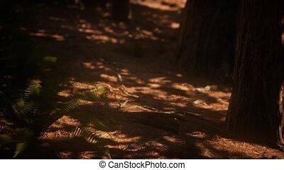 sequoias, vroeg, bosje, mariposa, morgen, zonlicht