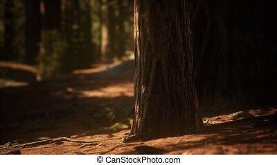sequoias, zonlicht, morgen, mariposa, vroeg, bosje