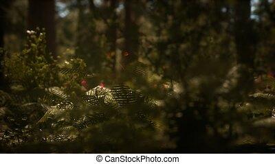 sequoias, zonlicht, vroeg, mariposa boomgaard, morgen