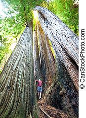 Sequoya - sequoia