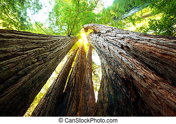 Sequoya - sequoia forest in fog