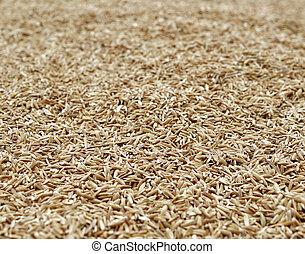 ser, cosechado, arroz, secado