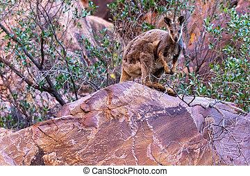 ser, vildmark, kamera, vagga, australier, känguru, sitt