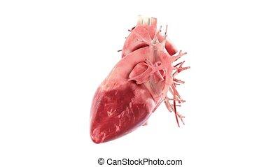 serce, 360, pętla, ruch obrotowy, ludzki