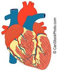 serce, anatomia, diagram, ludzki mięsień, budowa