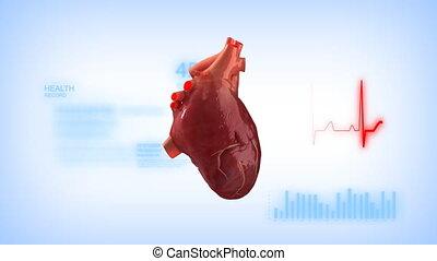 serce, ludzki, pętla