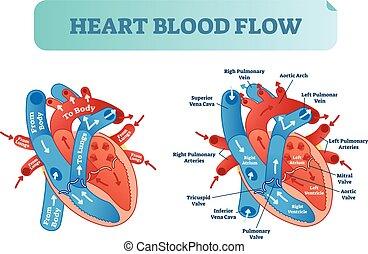 serce, poster., obieg, system., medyczny, potok, ilustracja, anatomiczny wykres, naklejona etykietka, wektor, krew, atrium, komora