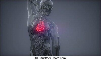 serce, rentgenologia, egzamin, ludzki