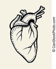 serce, rys, ludzki