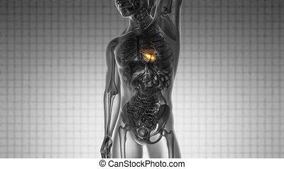 serce, skandować, nauka, żółty, anatomia, jarzący się, ludzki