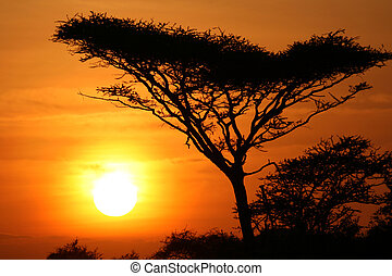 serengeti, árbol de goma arábiga, ocaso, áfrica