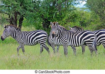 serengeti, シマウマ