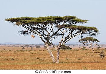 Serengeti acacia - A large acacia thorn tree in the...