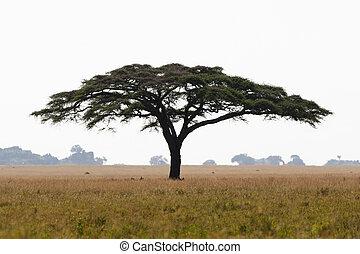 Serengeti acacia tree - A large umbrella-shaped thorn tree ...