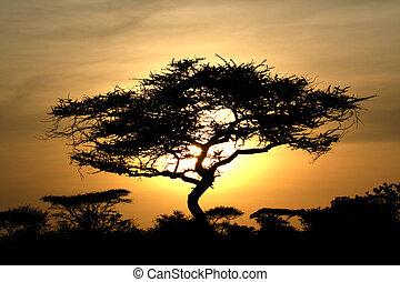 serengeti, arbre acacia, coucher soleil, afrique