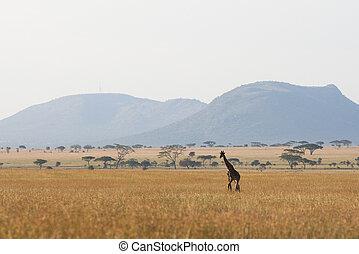 serengeti, giraffe