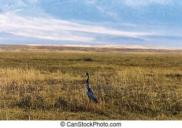 Serengeti Heron