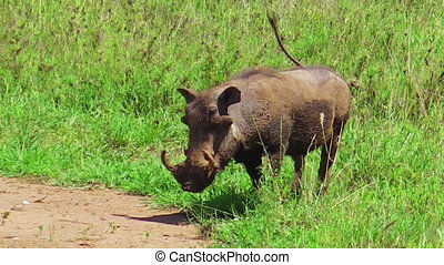 Warthog walking and eating on the grass in Serengeti National Park, Tanzania in Africa. A fast and smart animal similar to a common boar, lives in small families. Phacochoerus is a genus of wild pigs