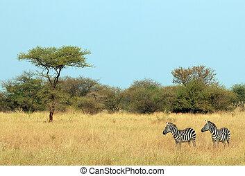 serengeti, tanzanie, quagga), couple, zèbre plaines, (equus