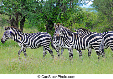 serengeti , zebra