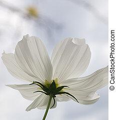 Serenity Now - Single white translucent flower shot from...