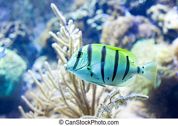 Sergeant major fish on background of a coral reef
