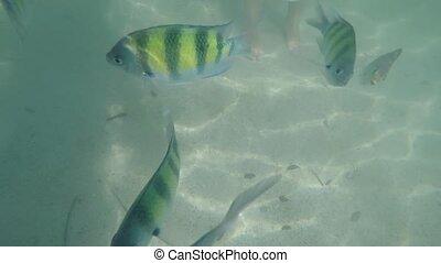 Sergent major fish Abudefduf vaigiensis seen at the surface of the Andaman Sea - Phang Nga Island - Ko Lao La Ding - Thailand