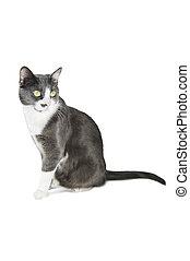 serie, gatto, grigio