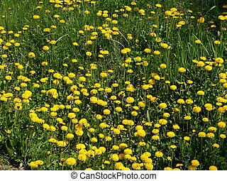 dandelions glade 2