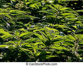 green nettles 2