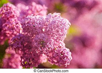seringen, bloemen, als, natuurlijke , abstract, achtergronden, met, beauty, bokeh