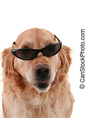 serious dog - serious golden retriever isolated on white...