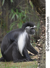Serious Look on the Face of a Colobus Monkey