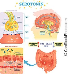 Serototin vector illustration. Labeled diagram with gut...