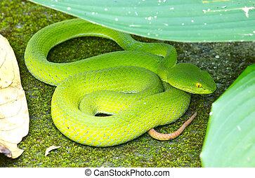 serpent, vert