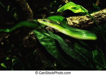 serpent vert