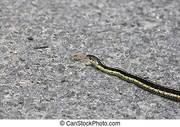 Serpente giarrettiera profondit nord slithering for Serpente nero italiano