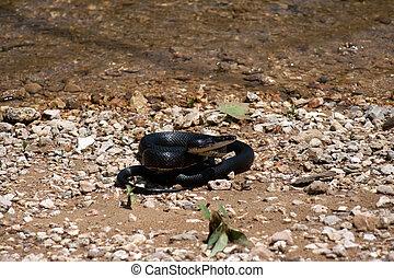 Foglia caccia pranzo serpente nero relativo fotografia for Serpente nero italiano