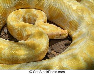 serpiente, albino