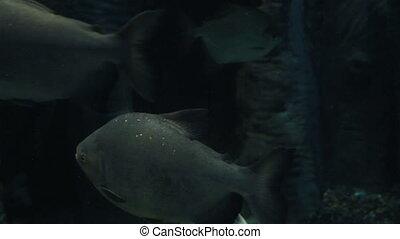 Serrasalmus is a genus of piranhas. Beautifully decorated...