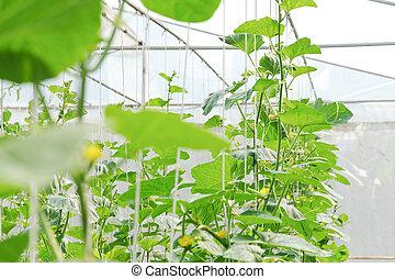 plantation greenhouse melon. Black Bedroom Furniture Sets. Home Design Ideas