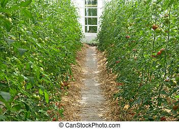 serre, tomates