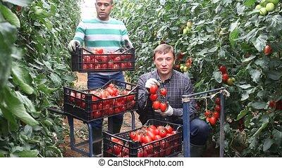 serre, tomates, positif, mûre, rouges, récolte, ouvriers, ...