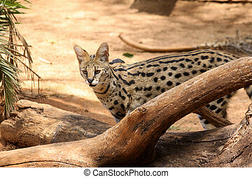 Serval African Wild Cat in Nature - Serval African Wild Cat...