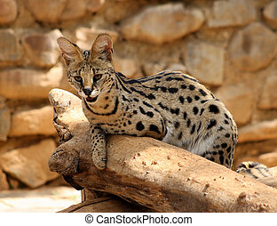 Serval African Wild Cat Resting on Tree Stump - Serval...