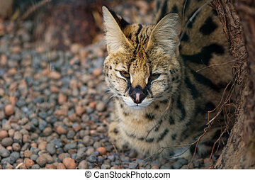 Serval in the zoo, sleepy wild cat