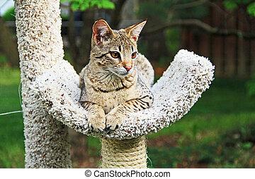 Serval Savannah Kitten