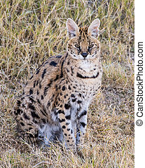 Serval sitting in the Grass