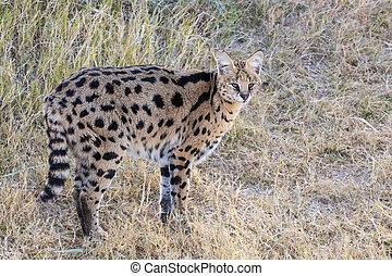 Serval Standing in a Grassy Field
