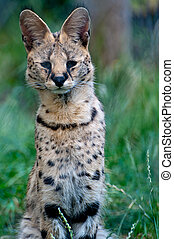 Serval - A portrait of a Serval